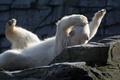 Картинка поза, хищник, лапы, белый медведь, зоопарк, полярный медведь