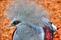 Картинка птица, перья, клюв, венценосный голубь