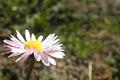 Картинка flower, yellow, daisy, meadow