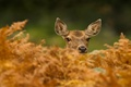 Картинка осень, природа, лань