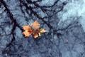 Картинка лист, листок, клен