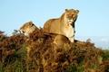 Картинка Саванна, трава, львицы