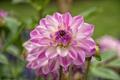 Картинка цветок, розовый, лепестки, цветение, георгин