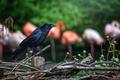 Картинка птица, черный, забор, ворон