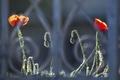 Картинка цветы, забор, маки, решетка