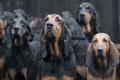 Картинка собаки, дождь, East Anglian Bloodhounds