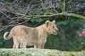 Картинка кошка, ветки, детёныш, котёнок, львёнок, ©Tambako The Jaguar