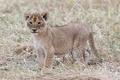 Картинка котёнок, трава, детёныш, кошка, львёнок