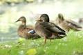 Картинка трава, утки, перья