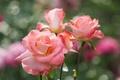 Картинка капли, роза, розы, лепестки, бутоны