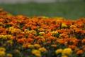 Картинка желтые, оранжевые, цветение, yellow, orange, кустики, Marigold