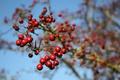 Картинка макро, ягоды, ветка