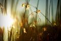 Картинка трава, солнце, колоски