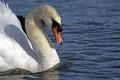 Картинка вода, птица, профиль, лебедь