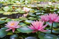 Картинка озеро, листва, розовые кувшинки
