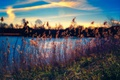 Картинка озеро, кусты, трава, небо, стебли, облака