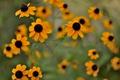 Картинка цветы, размытость, оранжевые, рудбекия