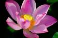 Картинка цветок, лепестки, лотос