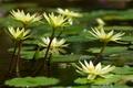 Картинка озеро, водяные лилии, листики