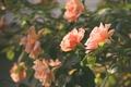Картинка цветы, розы, лепестки