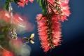 Картинка макро, оса, насекомое, соцветие, Bottlebrush, Callistemon, бумажная оса