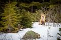 Картинка fox, winter, snow
