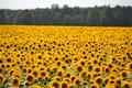 Картинка желтые, поле, подсолнухи, много