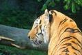 Картинка полоски, тигр, хищник, профиль