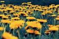 Картинка цветы, Природа, одуванчики, Pyatkov_Denis