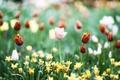 Картинка цветы, розовый, лепестки, тюльпаны, красные, много