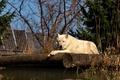 Картинка Animals, Arctic Wolf, Metro Toronto Zoo