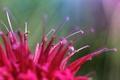 Картинка цветок, розовый, лепестки, монарда