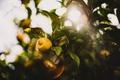Картинка листья, лимон, солнце
