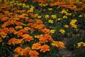 Картинка желтые, оранжевые, цветение, кустики, Бархатцы