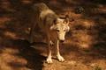 Картинка взгляд, земля, волк, смотрит