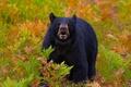 Картинка трава, ягоды, медведь, мишка, мишаня