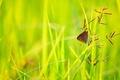 Картинка трава, бабочка, растения, колосья