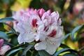 Картинка бело-розовые цветы, flowering shrub, цветущий кустарник, white and pink flowers