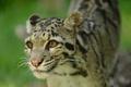 Картинка кошка, взгляд, морда, дымчатый леопард