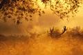 Картинка осень, лес, природа, золото, олень, утро, red