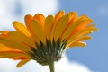 Картинка цветок, лепестки, небо, гербера