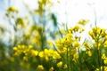 Картинка цветы, желтые, лепестки, много