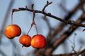 Картинка природа, яблоки, ветка