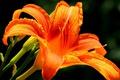 Картинка цветок, макро, оранжевый, яркий, лилия