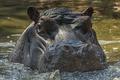 Картинка Hippopotamus, South Africa, Johannesburg Zoo