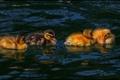 Картинка птенцы, водоем, утята, hdr, утки
