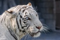 Картинка белый тигр, морда, взгляд, кошка