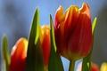 Картинка небо, макро, цветы, лепестки, тюльпаны
