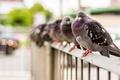 Картинка птицы, город, голуби