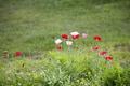 Картинка цветы, маки, трава, поле, луг